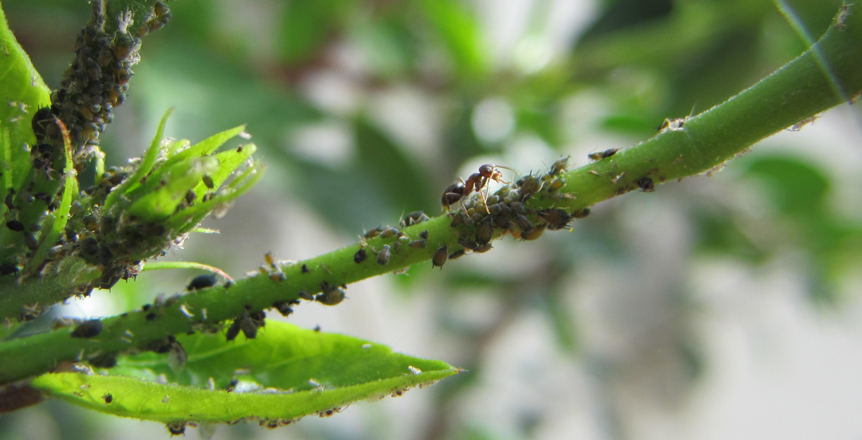 Combattere Afidi Delle Rose afidi: rimedi fai da te per proteggere le piante sul balcone