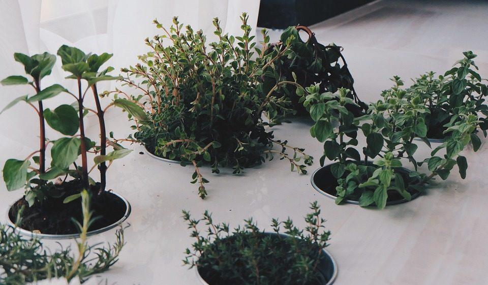 Piante aromatiche come coltivarle in casa o sul balcone for Piante acquisto