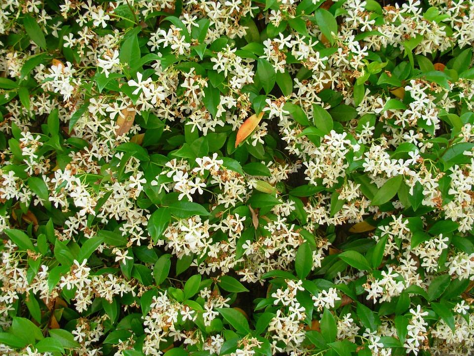 Gelsomino come coltivare la pianta rampicante sul balcone for Piante rampicanti ornamentali