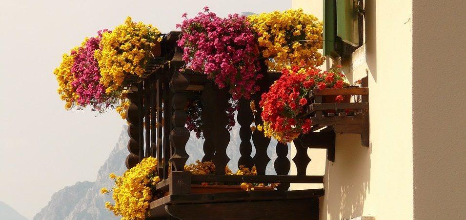 Geranio: come coltivarlo in vaso per balconi fioriti