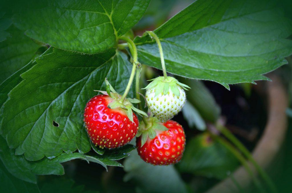 Come coltivare fragole in vaso sul balcone di casa for Fragole in vaso