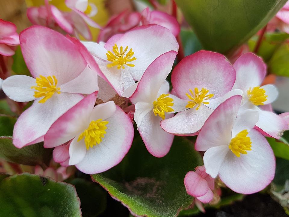 Begonia come coltivare la pianta in casa o sul balcone for Begonia pianta