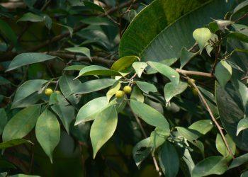Ficus-benjamin