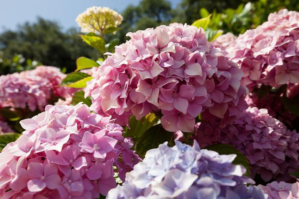 Come coltivare le ortensie in vaso o nel giardino