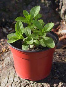 Stevia-pianta