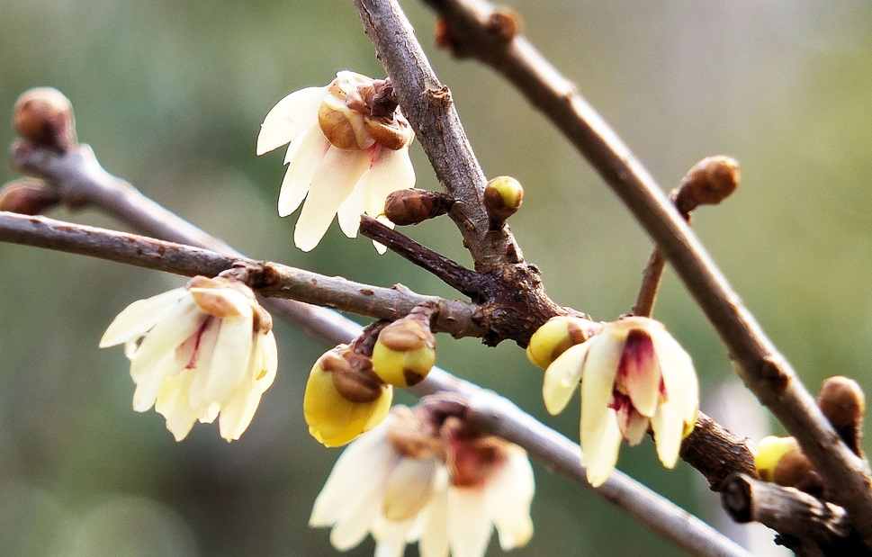 Calicanto: come coltivare la pianta che fiorisce in inverno