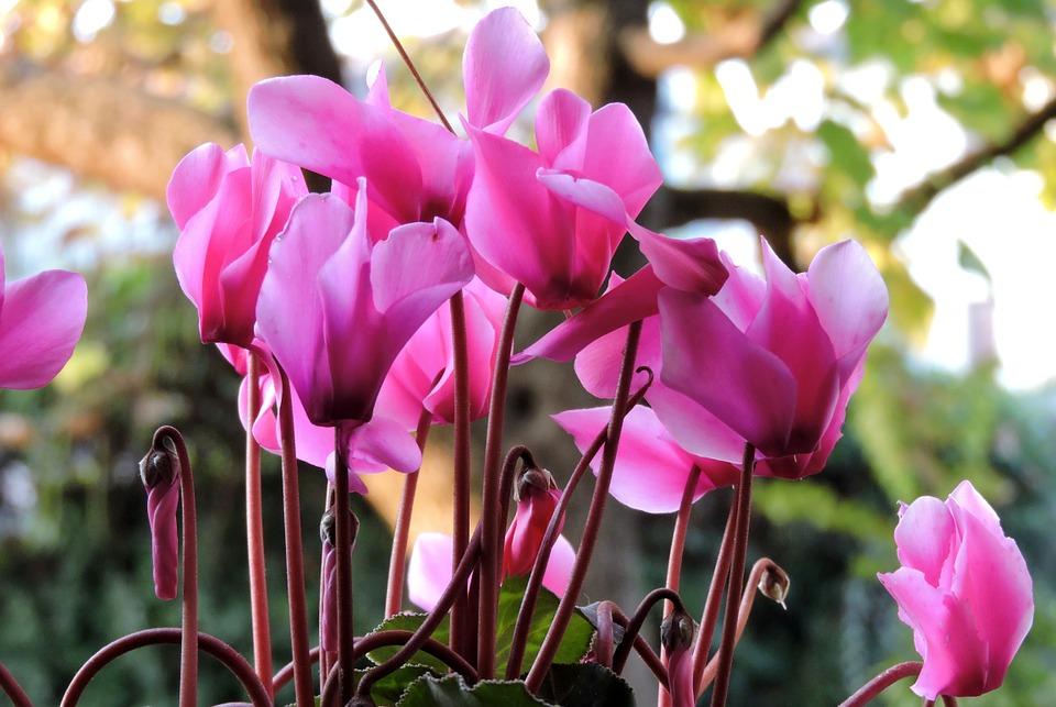 Ciclamino: come coltivarlo per un balcone fiorito anche in inverno!