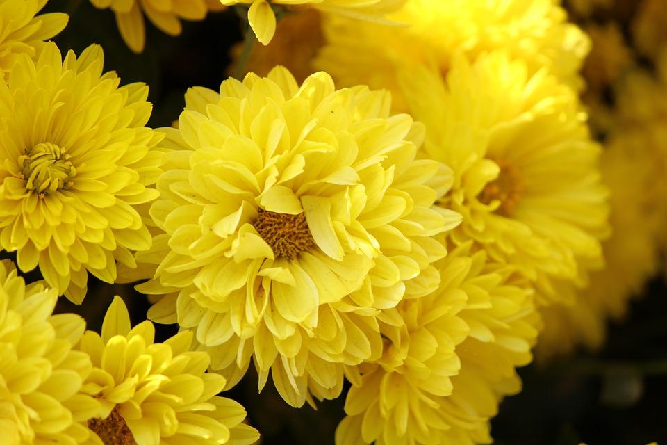 Crisantemi: come coltivarli per un balcone fiorito anche in inverno!