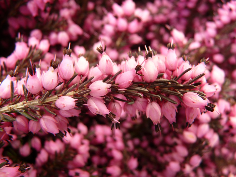 Erica: la pianta sempreverde che fiorisce in autunno ed inverno