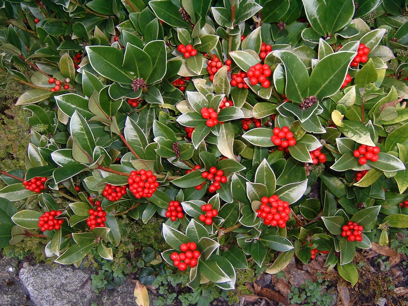 Skimmia: colora di rosso il giardino o il balcone anche in inverno!