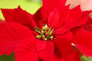 Annaffiatura Stella Di Natale.Stella Di Natale Guida Alla Coltivazione Della Pianta In Vaso Brico It