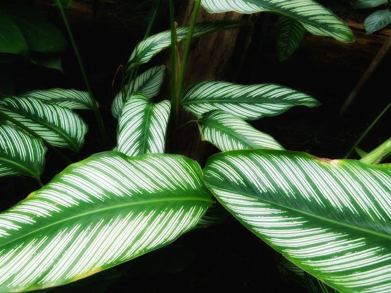 Calatea: la pianta che purifica l'aria